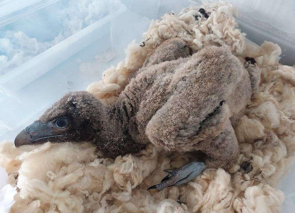 El centro de la Junta en Jaén adopta dos crías procedentes de Francia y un polluelo del Pirineo catalán que estaba en peligro tras quedarse huérfano.